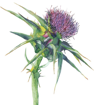 Kelly Lowe - Thistle development drawing
